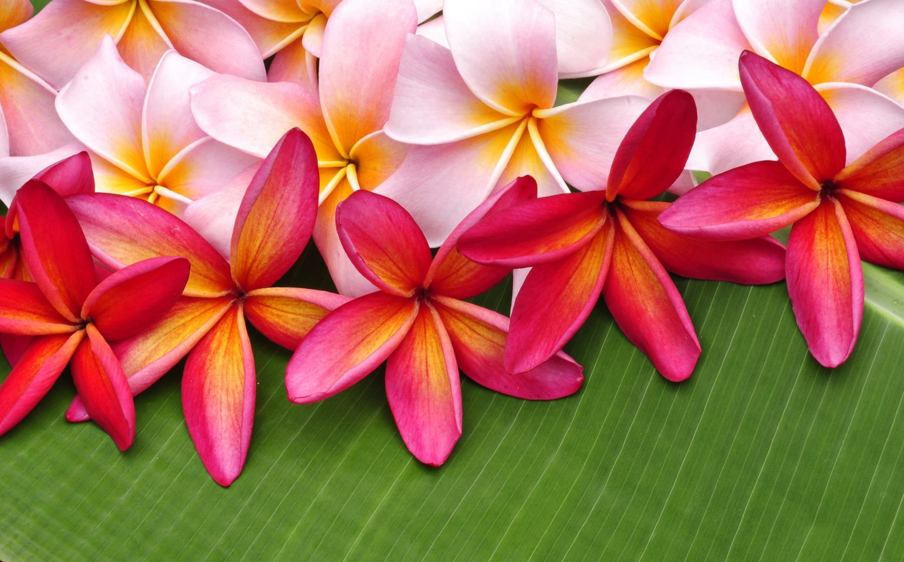 Beauty Of Flower Beauty Of Hawaii Pinterest Flowers Plumeria