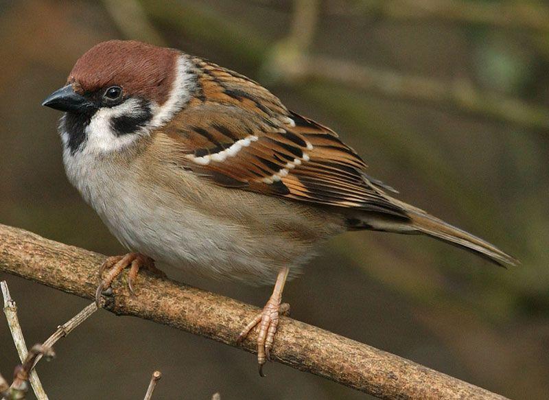 Tree Sparrow Fully Masculine Colours Chocolate Brown Tan Black Vogel Schilderijen Vogels Schilderij