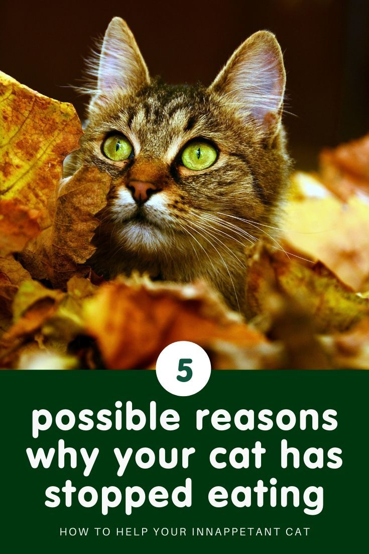 Why is my cat not eating? (With images) Cat health