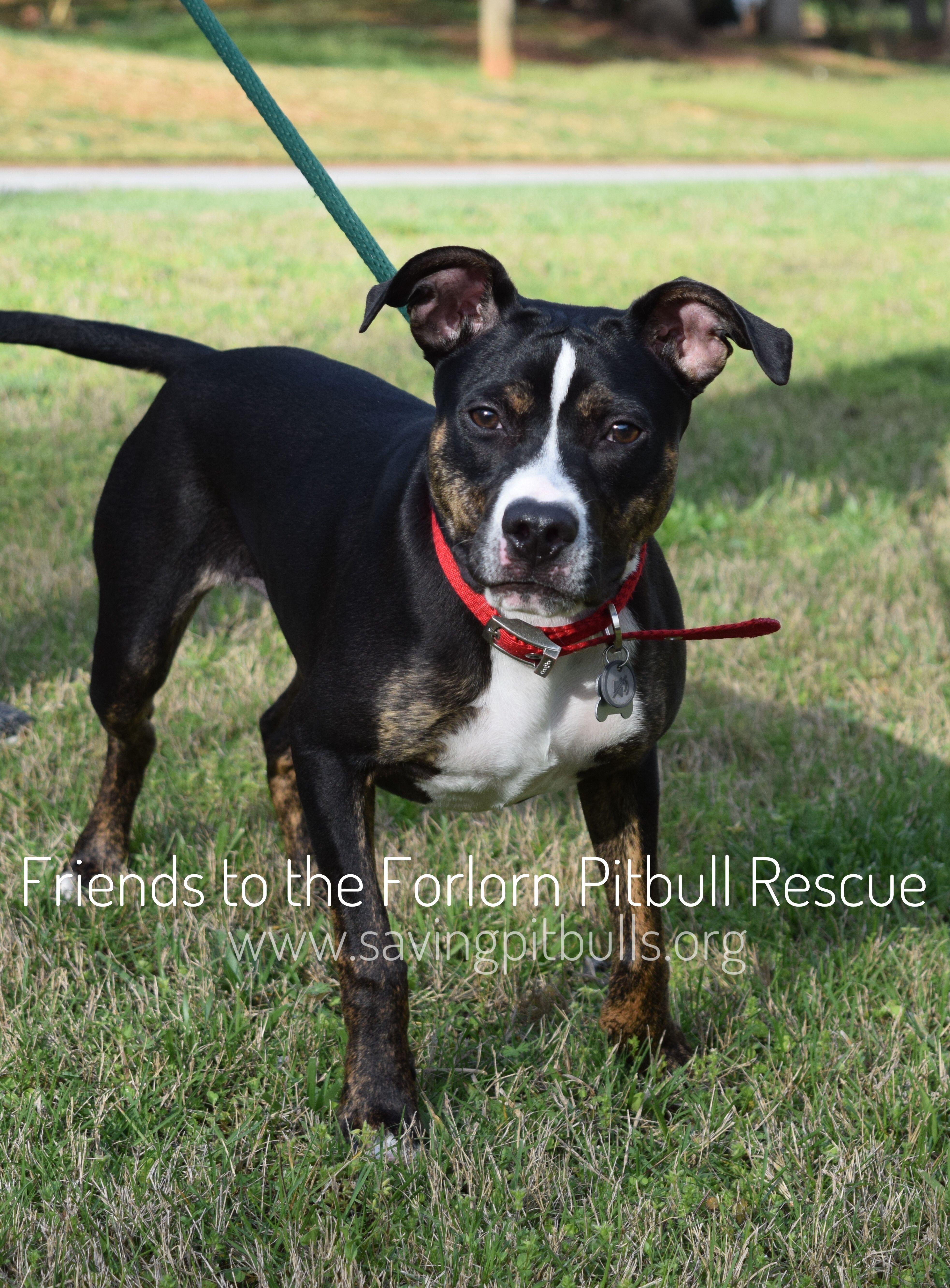 Adopt A Bulls Pitbull Terrier Pets Pitbull Mix Breeds