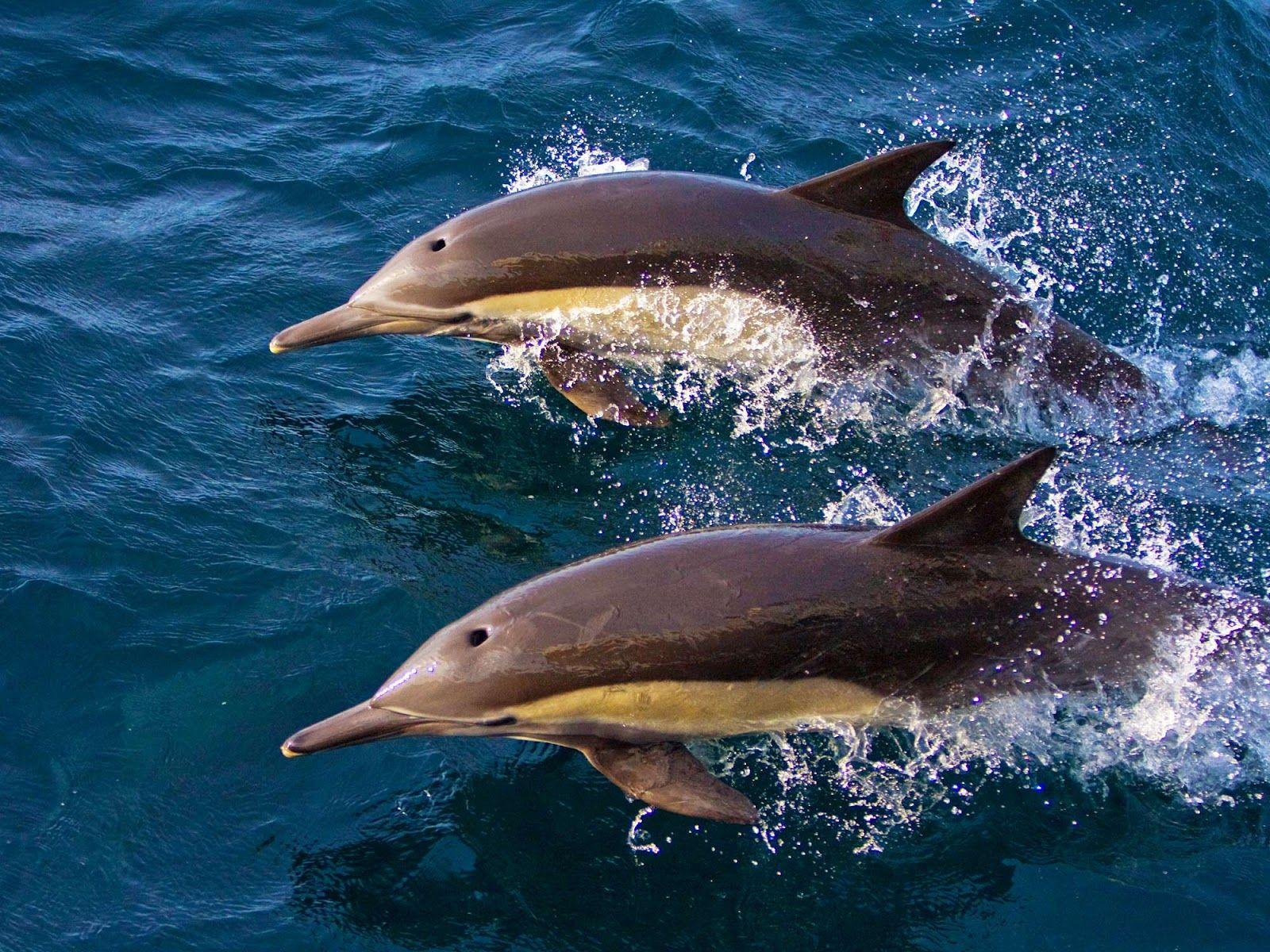Long beaked common dolphin (Delphinus capensis)