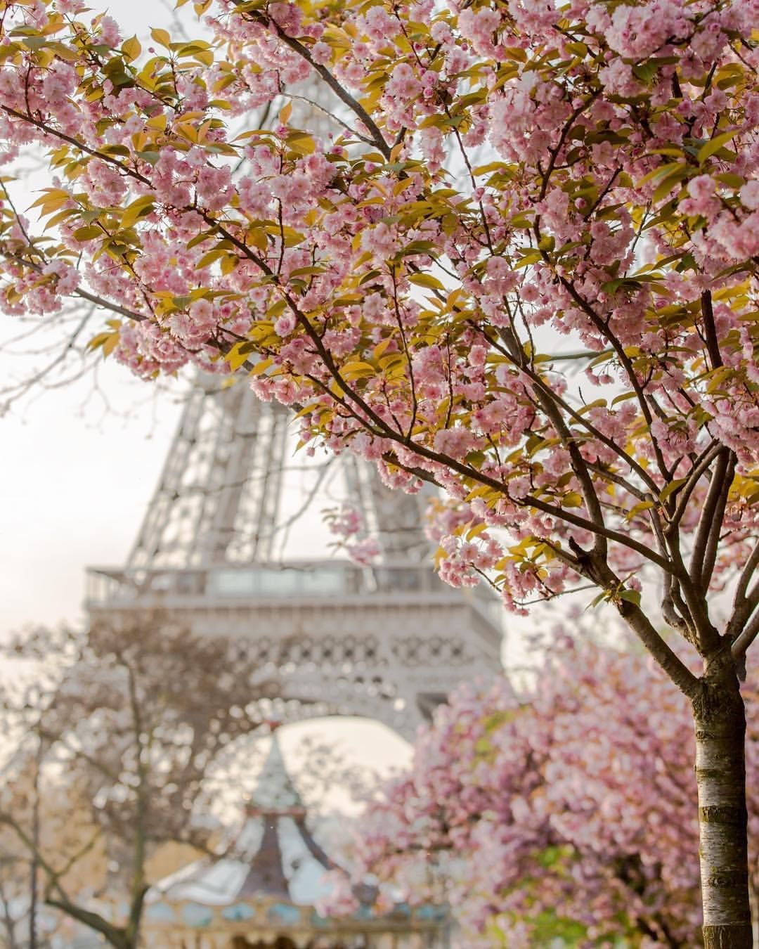 The Cherry Blossoms Will Be Gone Very Soon They Last To Short But Give So Much Feelings Lovespring Cherrybl Paris Photography Beautiful Paris Paris Images