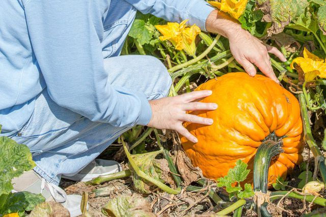 How Long Does it Take to Grow Pumpkins From Seeds ...