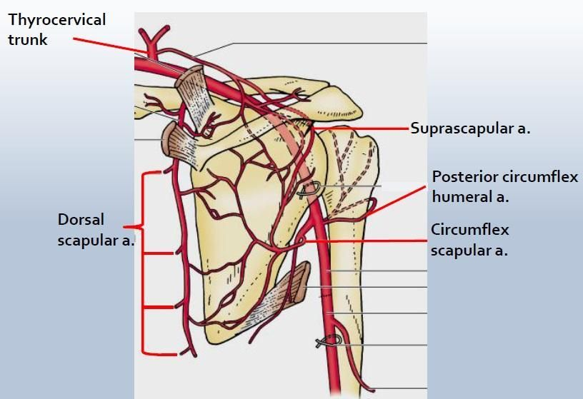 image result for posterior circumflex artery | boards- helpful, Sphenoid