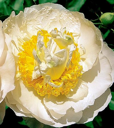 Peony - Paeonia 'Cheddar Surprise' - Pure white, semi-double, rose shaped flowers sprinkled throughout with golden petaloids and staminodium. Excellent green foliage is sturdy and disease resistant. Fragrant flowers.