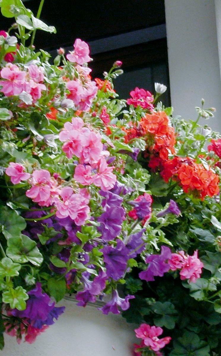 Quelles Plantes Pour Fleurir Un Balcon Oriente Nord Fleurs Balcon Balcon Plante Balcon