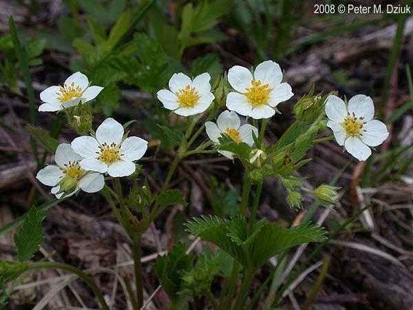 Strawberry five petal flower vine google search corona flowers strawberry five petal flower vine google search mightylinksfo