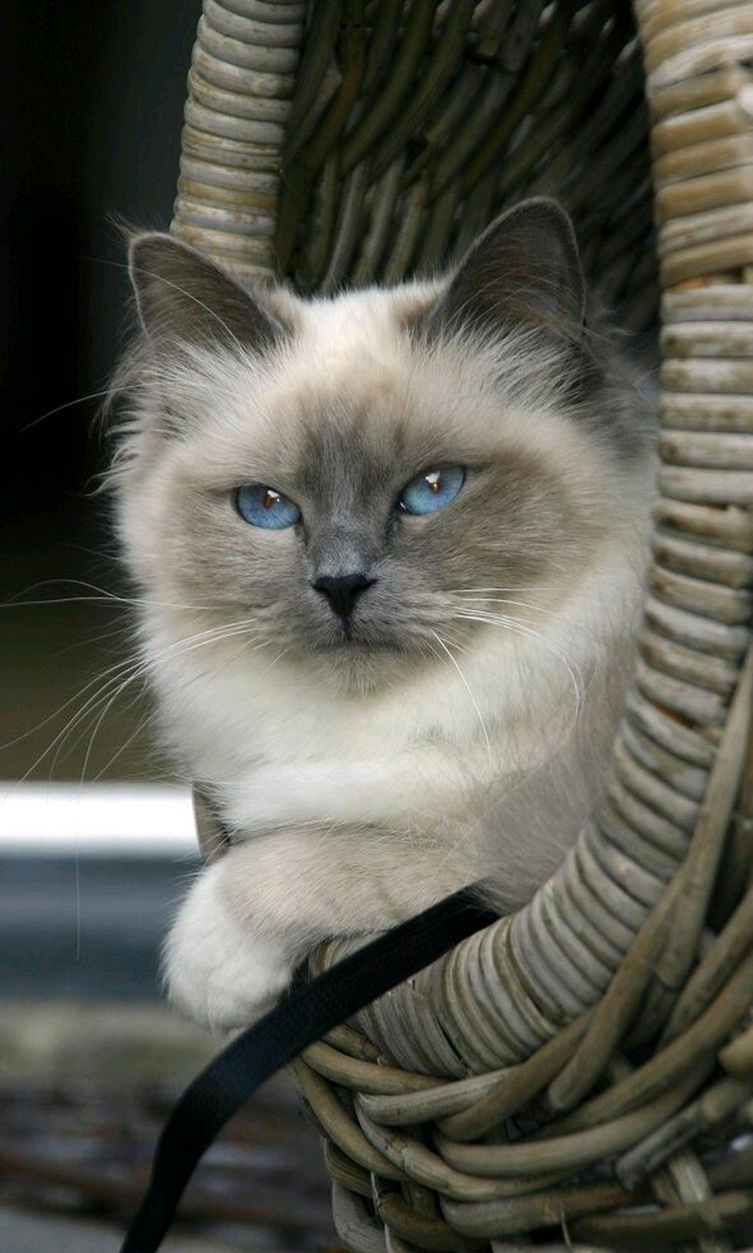 Sign In Himalayan Cat Cute Cats And Kittens Grey Kitten