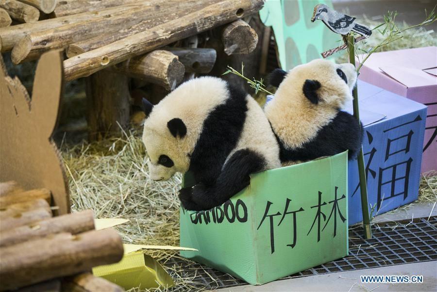 CANADA-TORONTO-TWIN PANDA CUBS-FIRST BIRTHDAY CELEBRATION