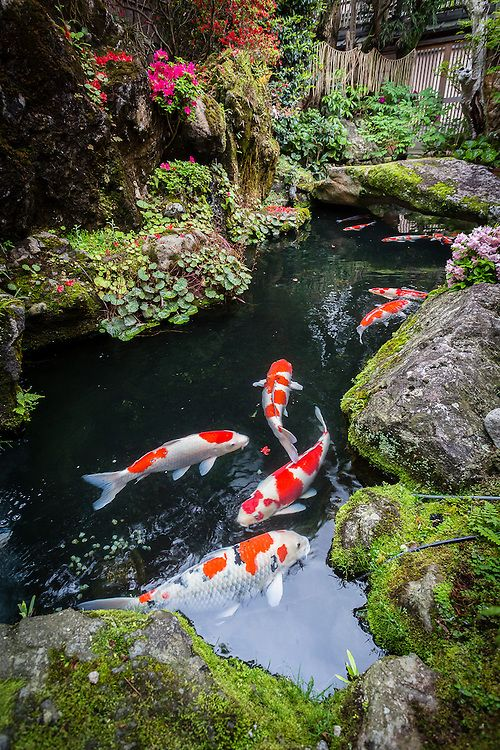 In almost every japanese garden pond there are koi carps, with several colors.