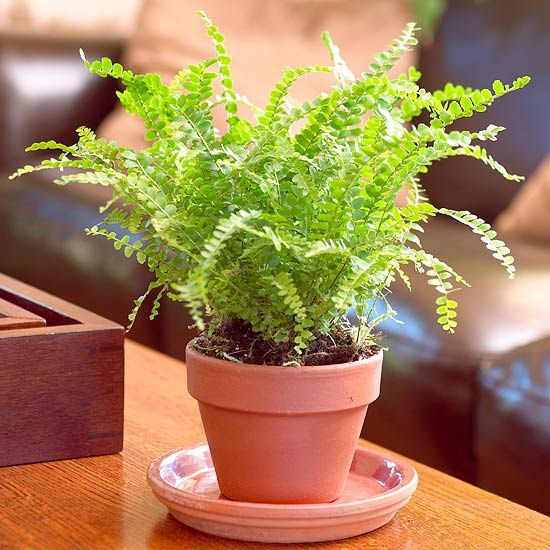 Top 9 Ferns To Grow As Houseplants For The Home Pinterest