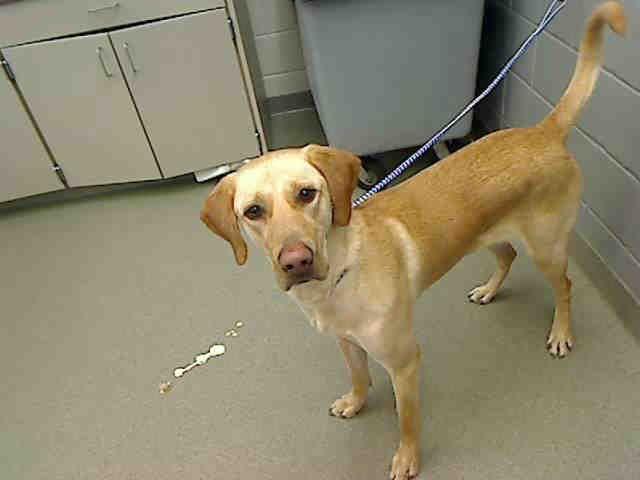 Hope Ne Humane Society Omaha 2 Yr Spayed Lab Retriever 65 Lbs Humane Society Pets Dog Adoption