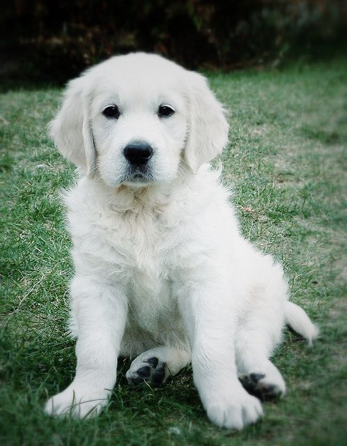 English Labrador Dogs Are From The Uk The General Appearance Is