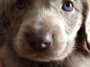 ワイマラナー販売 子犬 ワイマラナー綺麗な被毛ロングヘアードの女の子 販売no 25843 ワイマラナー 子犬 動物
