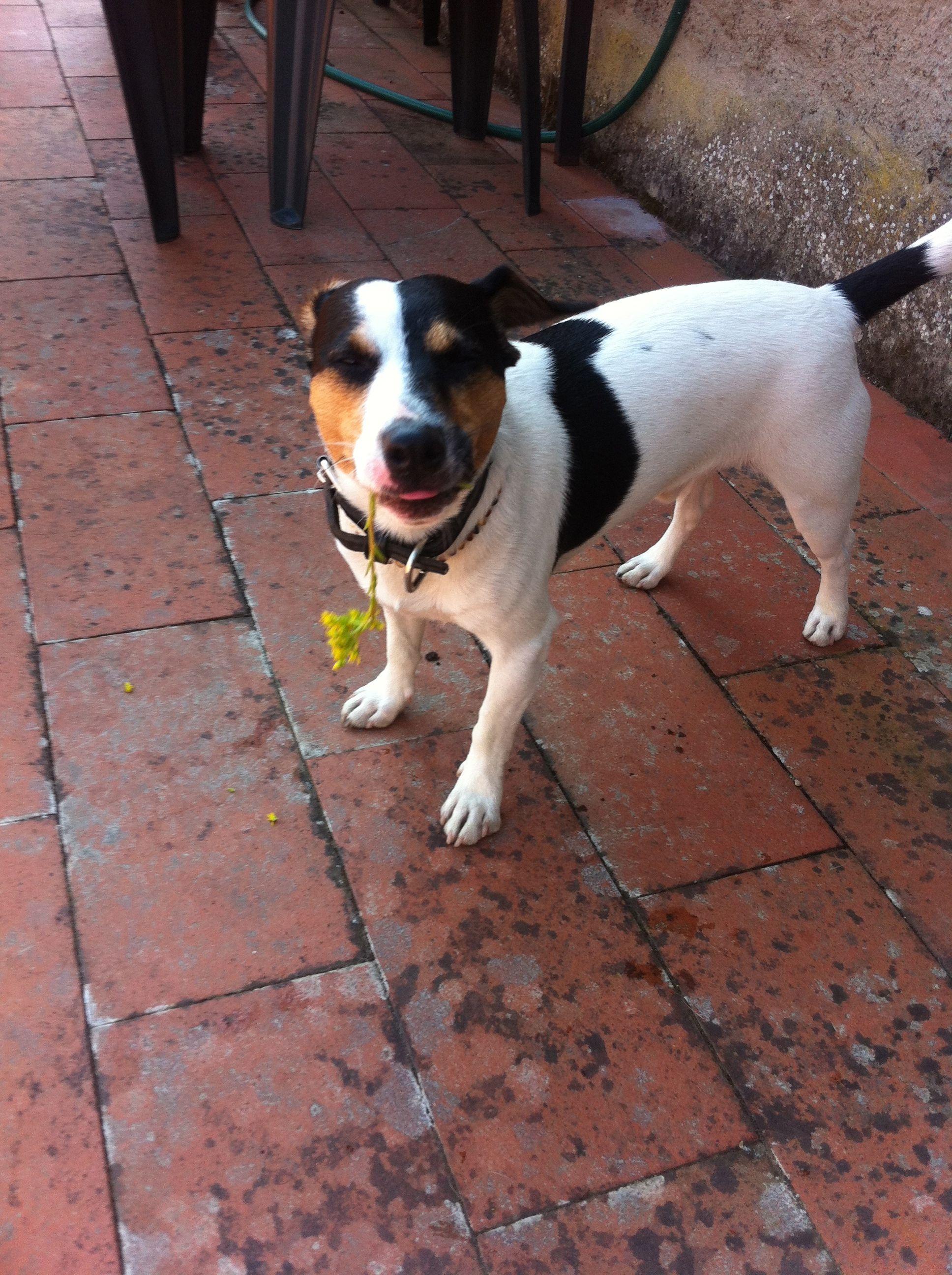 Hund Jack Russell Terrier Pawshake Hunde Terrier Hund Russell Terrier