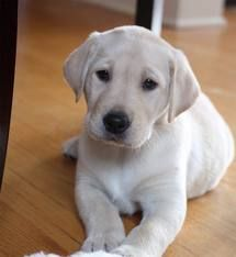 Sophie, my lab/retriever as a puppy.. | Lab puppies, Lab ...