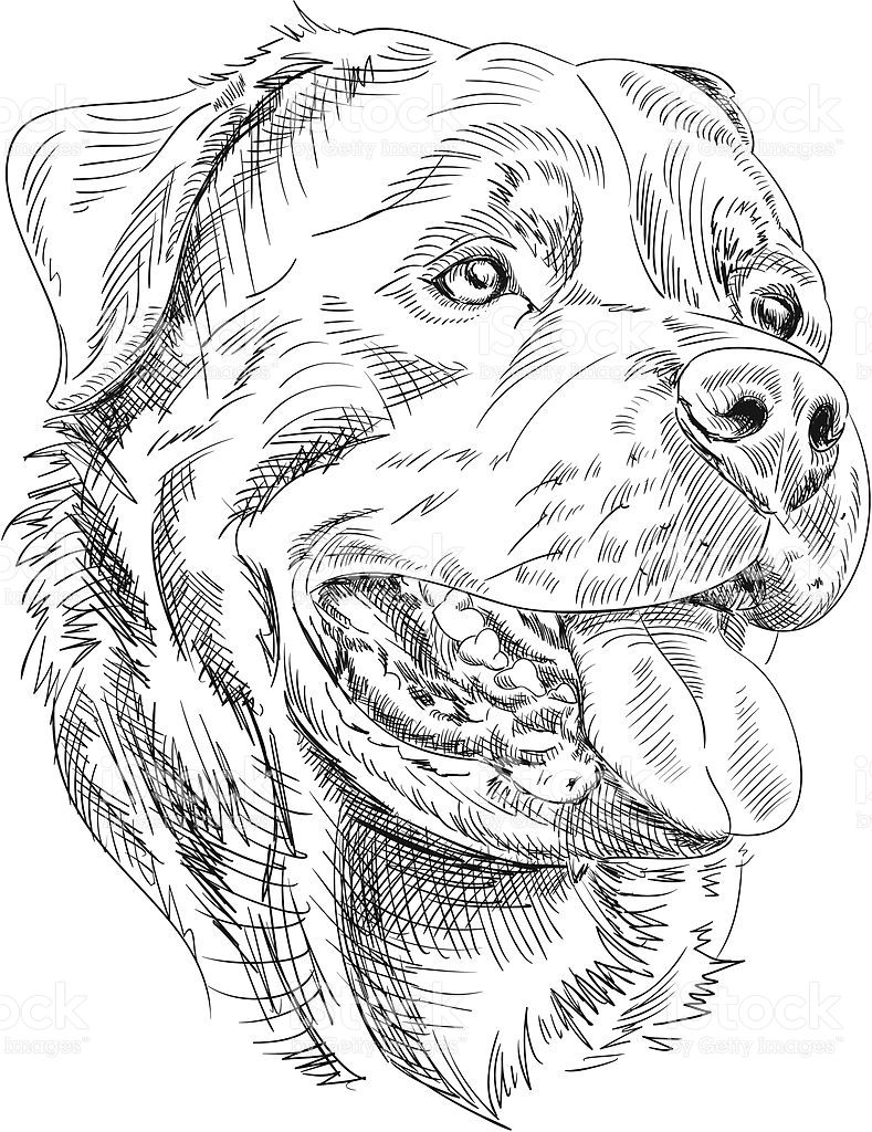 Hand Drawn Ink Style Vector Illustration Of A Rottweiler Face