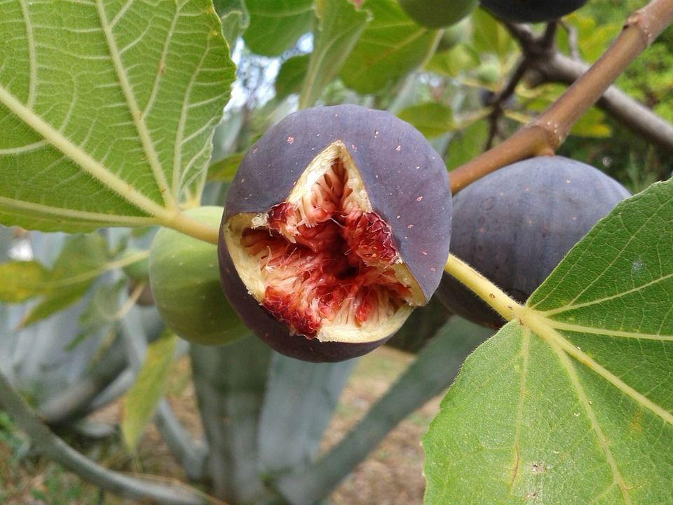 Free Image on Pixabay Fig, Fruit, Real Coward, Fig Tree