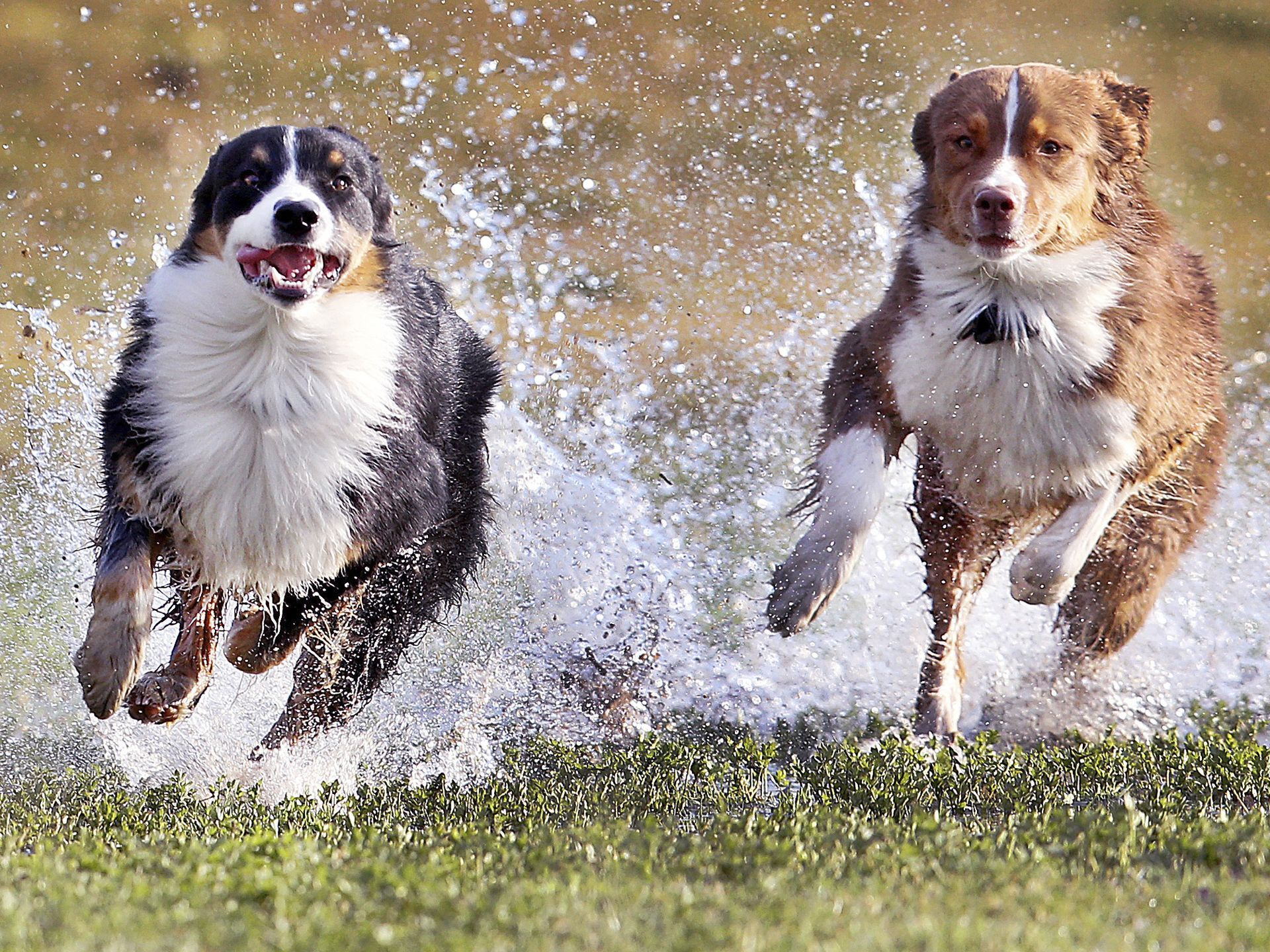 The Day In Pictures Australian Shepherd Dogs Australian