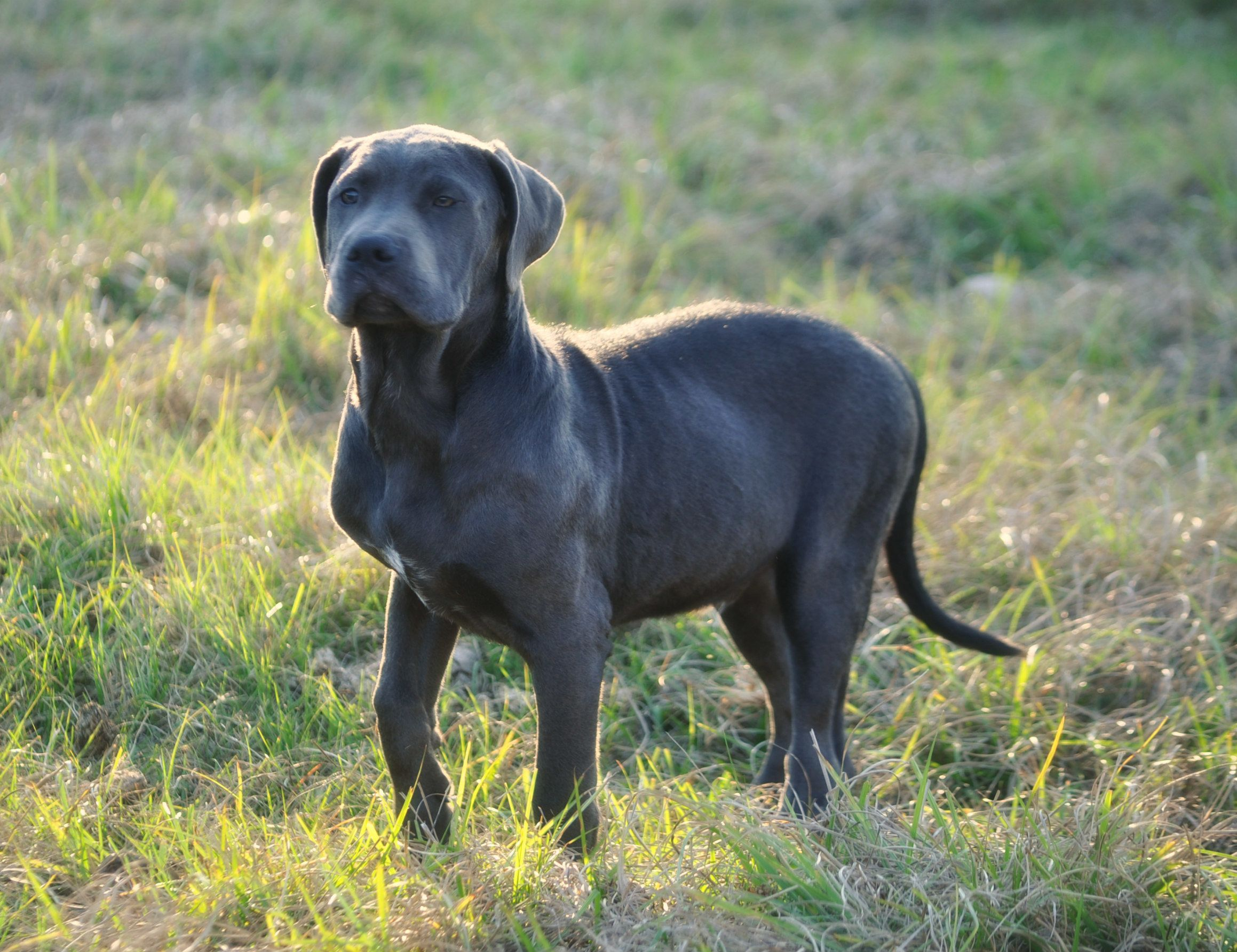 Kenya Is An Adoptable Cane Corso Mastiff Searching For A Forever Family Near Orlando Fl Use Petfinder To Find Adoptable Pets In Yo Funny Dogs Cane Corso Dogs