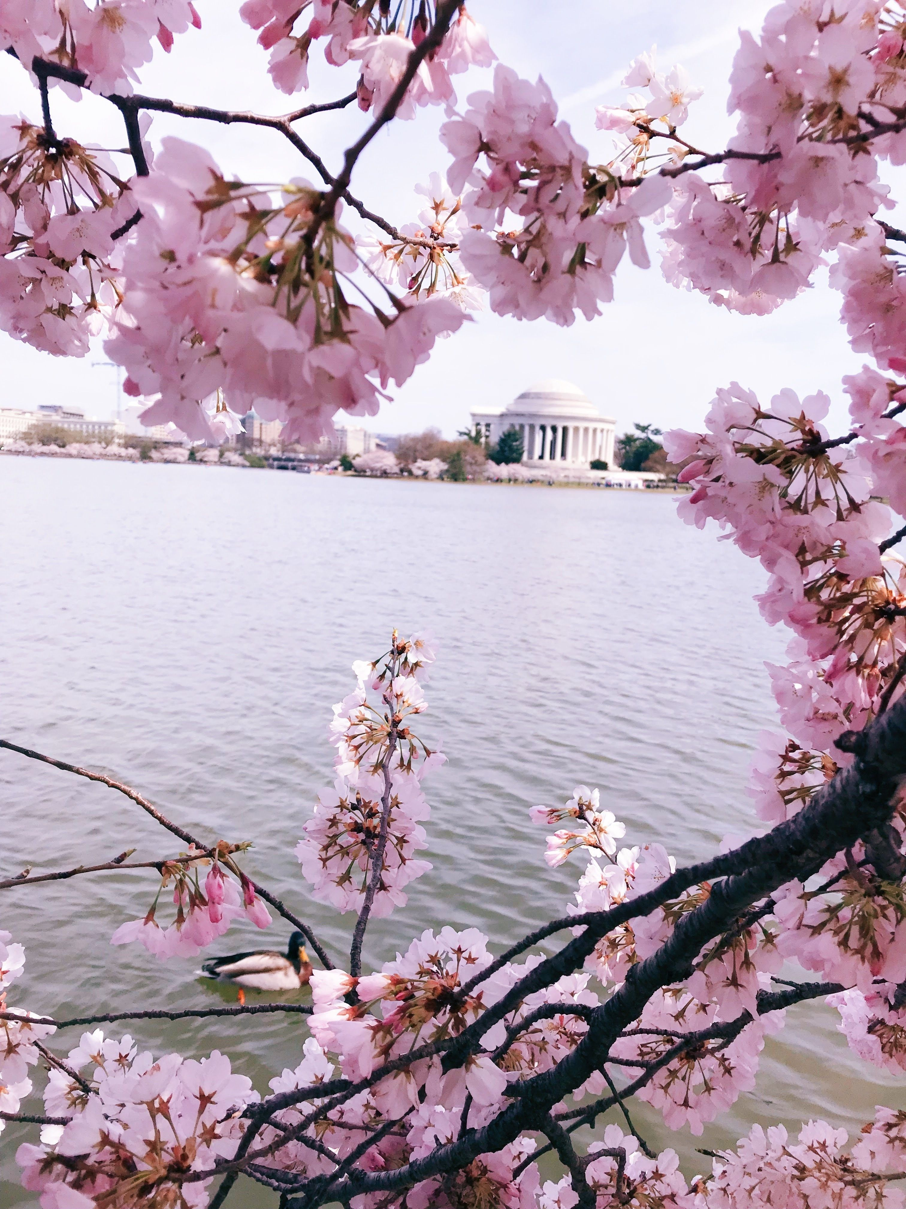 7 Tips For Seeing The Washington Dc Cherry Blossoms Melody Schmidt Comprehensive Guide T Photo Spots Cherry Blossom Pictures Beautiful Travel Destinations