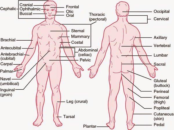 Medical Definition Of Anatomy Gallery - human anatomy diagram organs