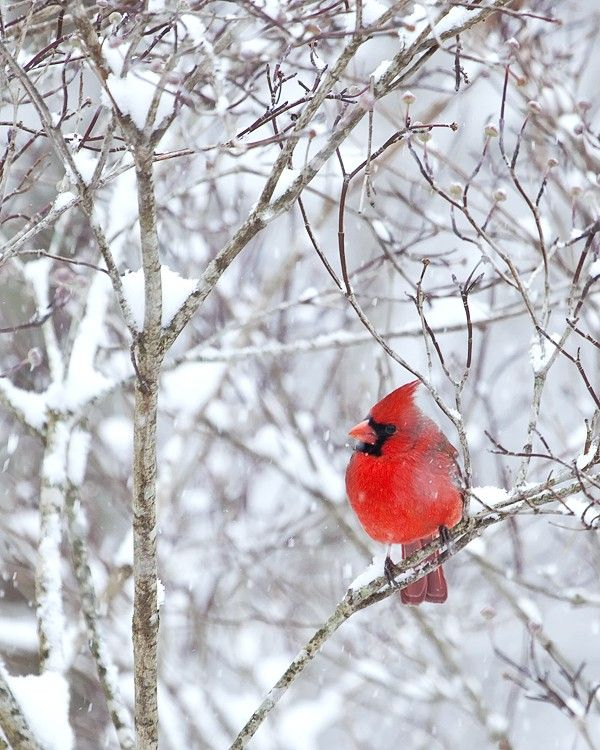 Red Cardinal In The Snow.. I Would Watch Out My Window As