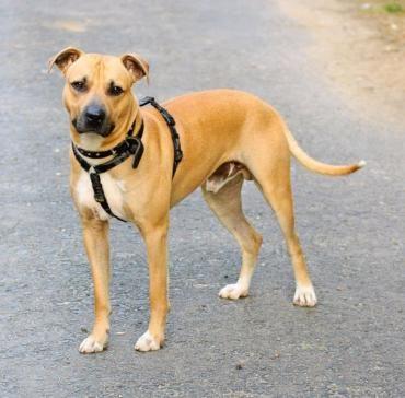 Hund Amerikanischer Staffordshire Terrier Mannlich 3 Jahre In Troisdorf Nordrhein Westfalen Rettungshunde Staffordshire Terrier Tierheim