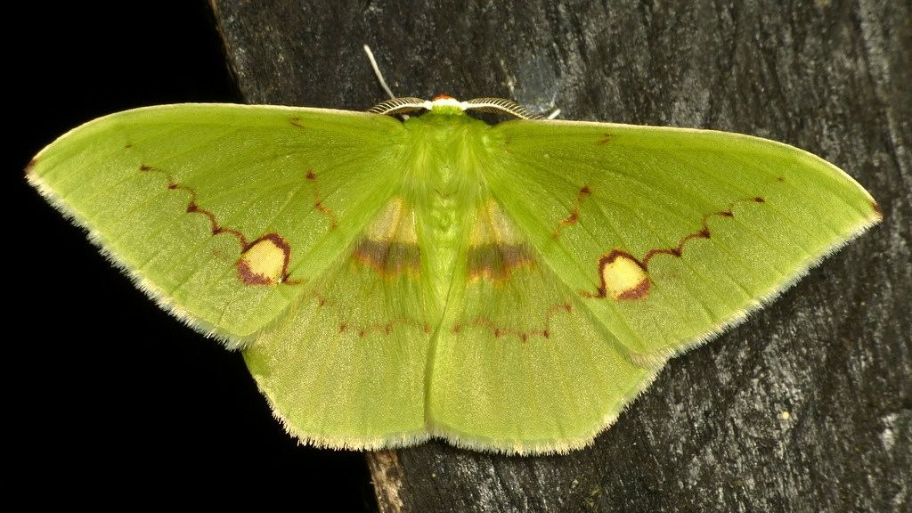 Geometer Moth Geometridae By Andreas Kay Motte Insekten Schmetterling