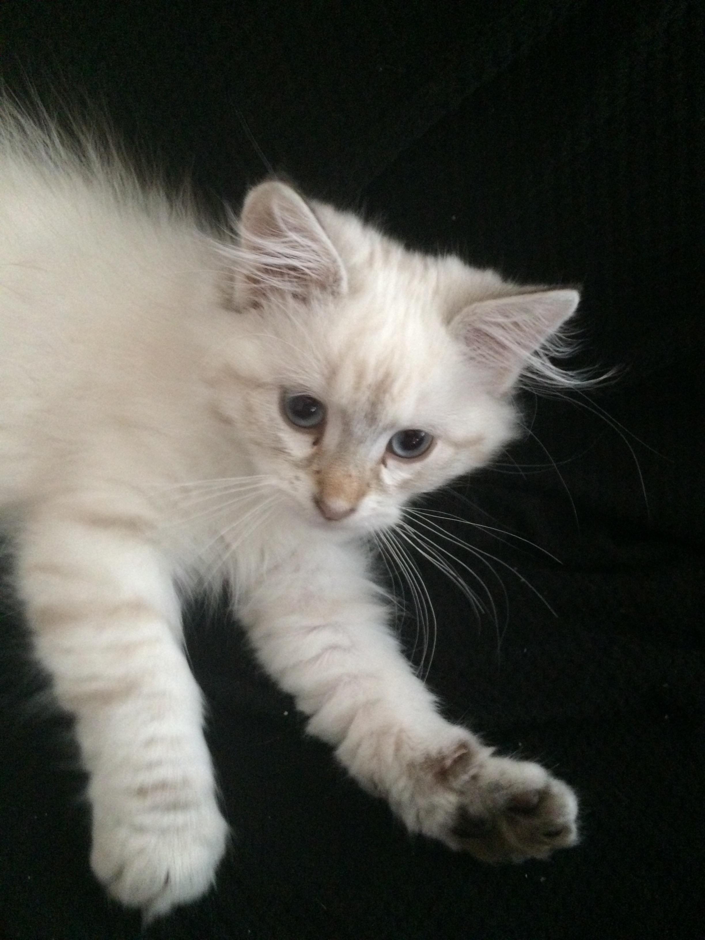 I Was Always Allergic To Cats Today I Brought Home A Hypoallergenic Siberian Cat Reddit Meet Trempette Http Ift Tt 2ctzlun Katzen
