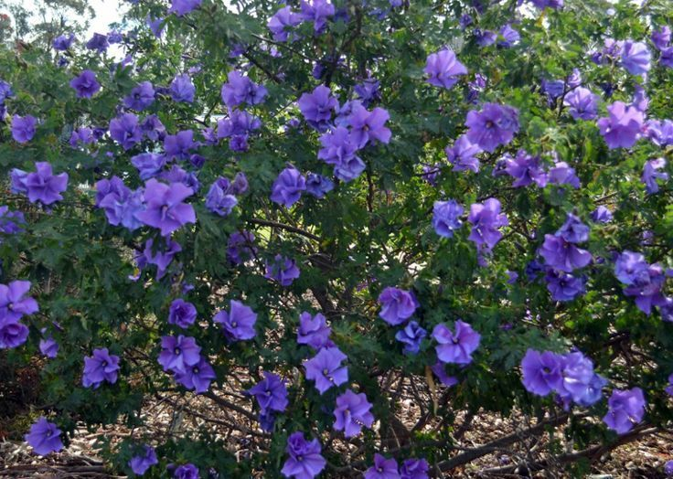 Top Selling Shrubs Rose Of Sharon Hydrangeas Weigelia