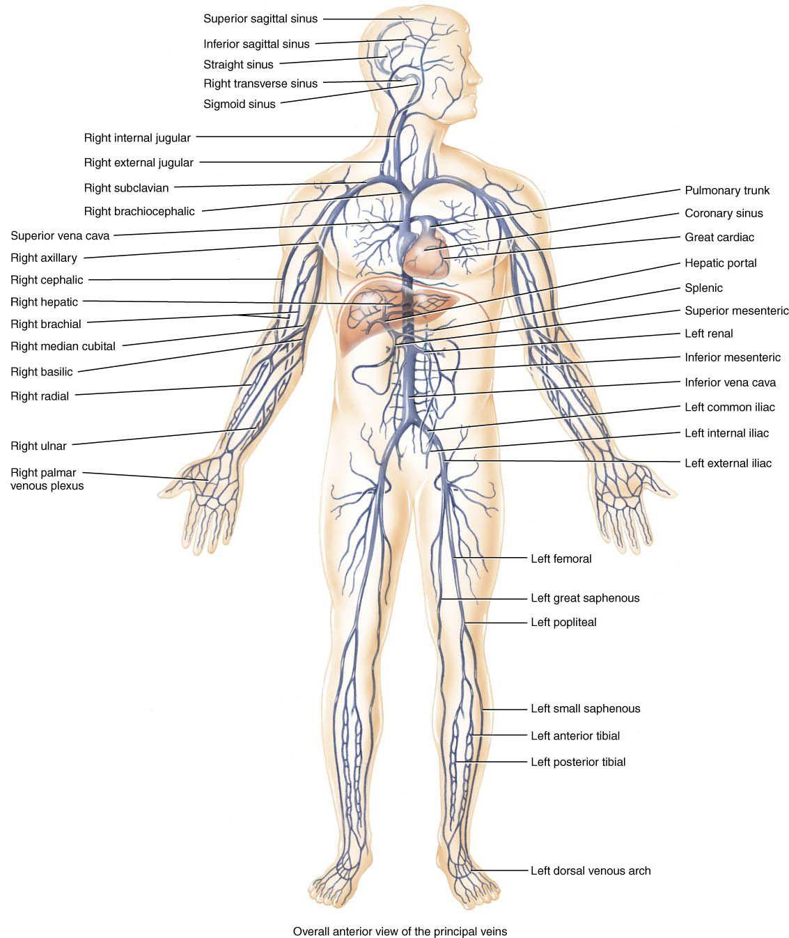 Circulatory System Diagram Worksheet – Human Circulatory System Worksheet