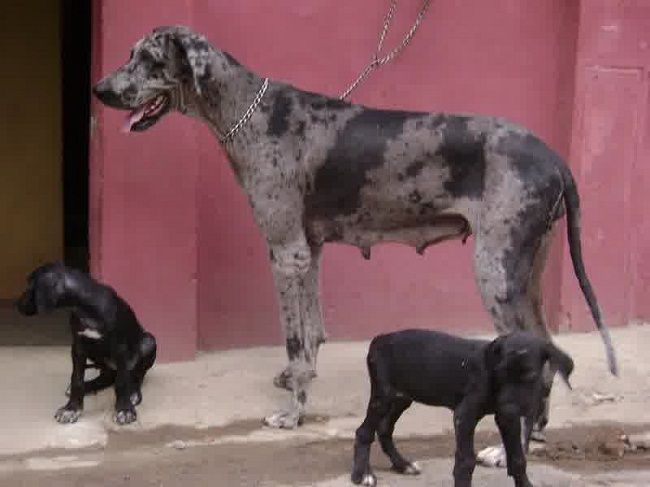 Great Dane Puppies For Sale In Wisconsin Cute Puppies Great
