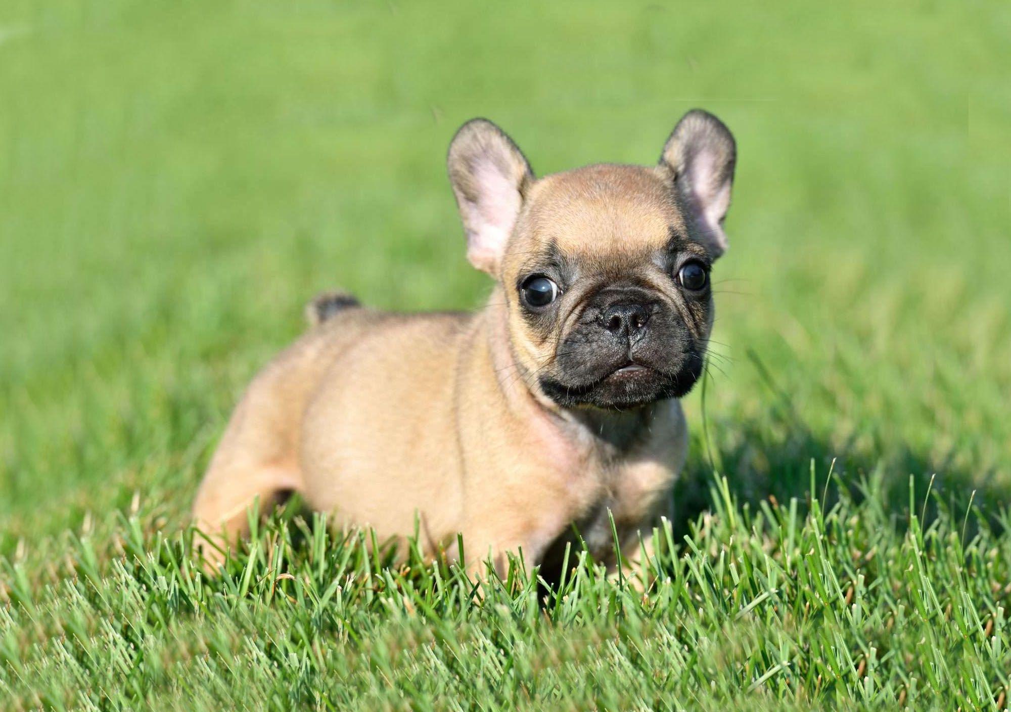 Venta de bulldog frances Bulldog francés, Bulldogs y