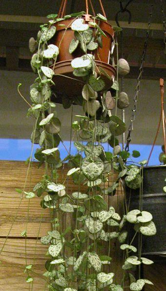 Tietoja kasvista Herttalyhty (herttaköynnös), Ceropegia woodii, lyktranka.