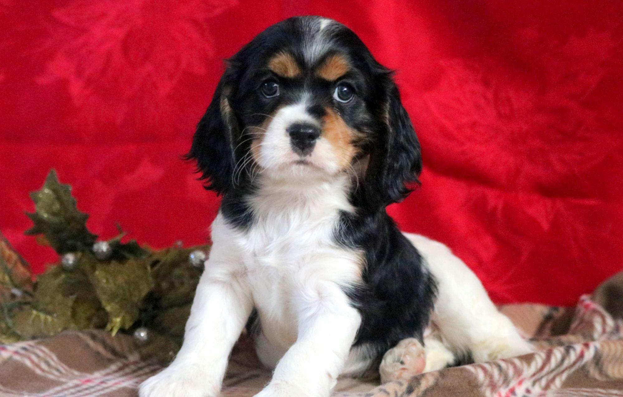 Cockalier Puppies For Sale Puppy Adoption Keystone Puppies Spaniel Puppies Spaniel Puppies For Sale Puppies For Sale