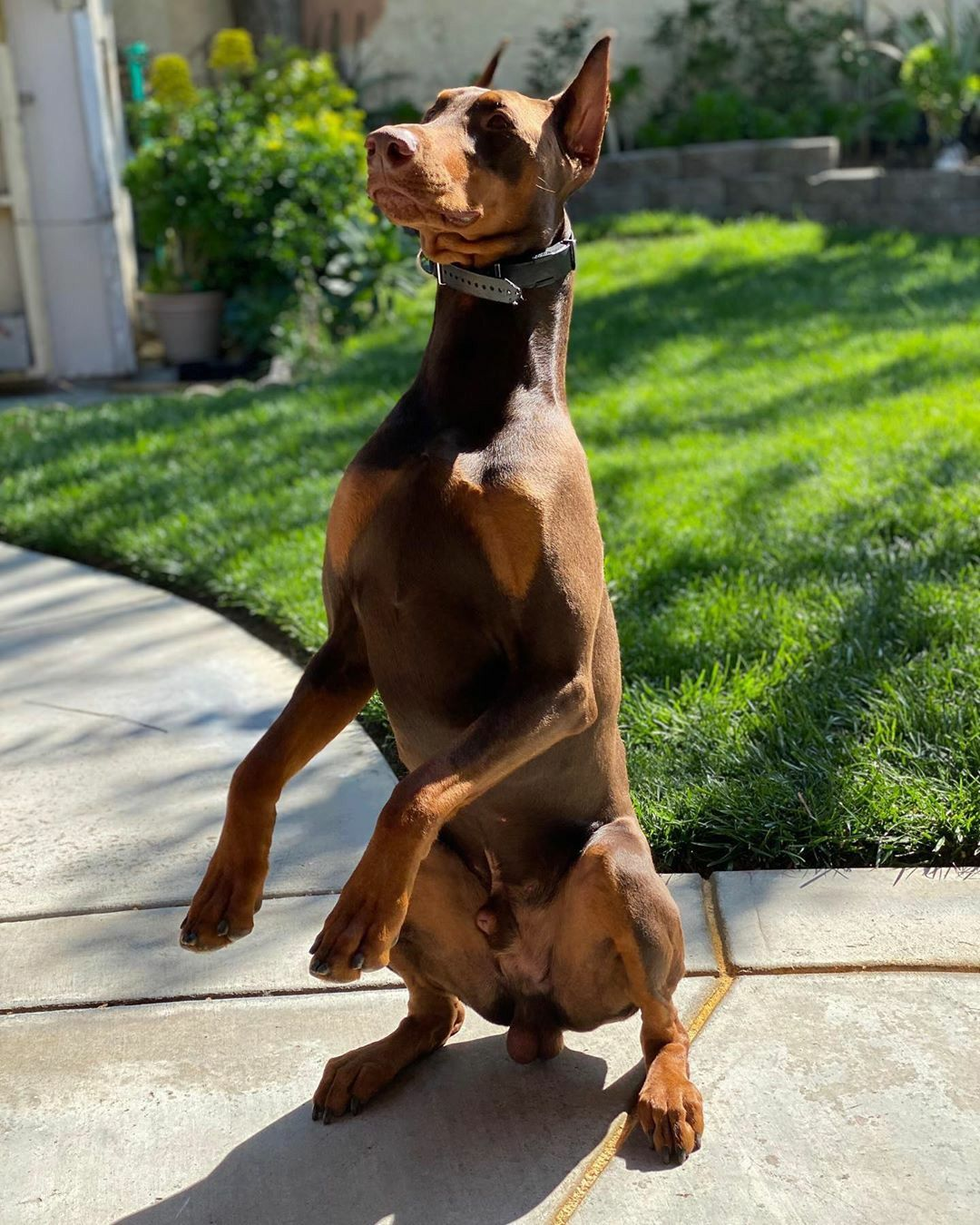 Doberman Puppy Cost In Bangalore References