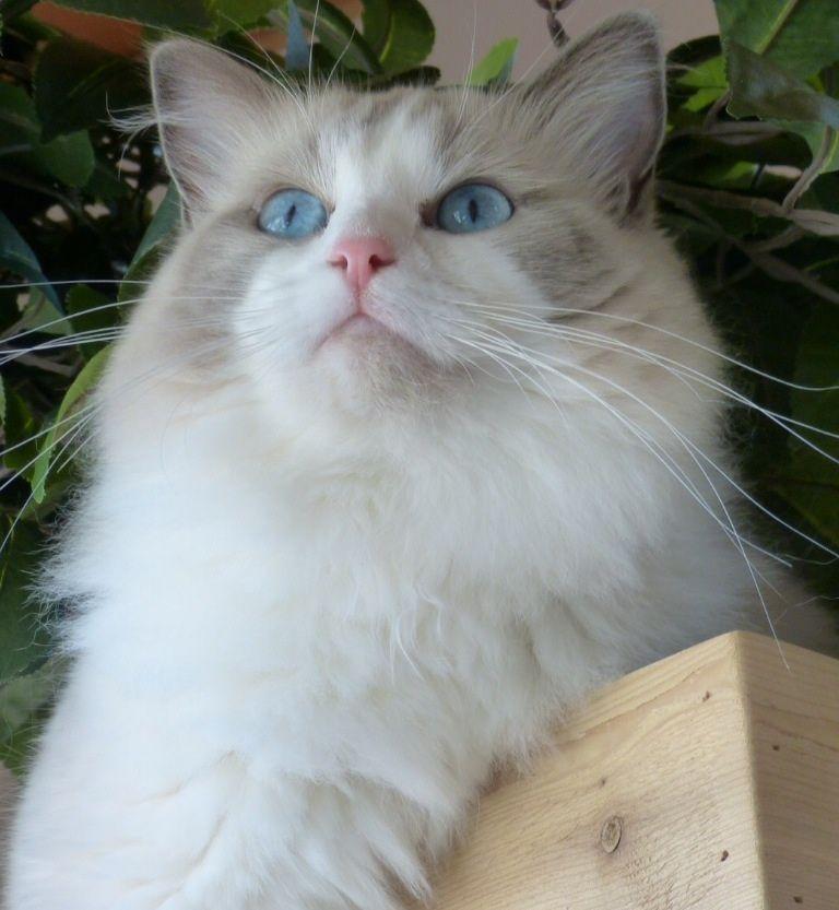 Ocean Blue Ragdoll Of The Week Ragdoll Cat Ragdoll Cat Colors Fluffy Cat