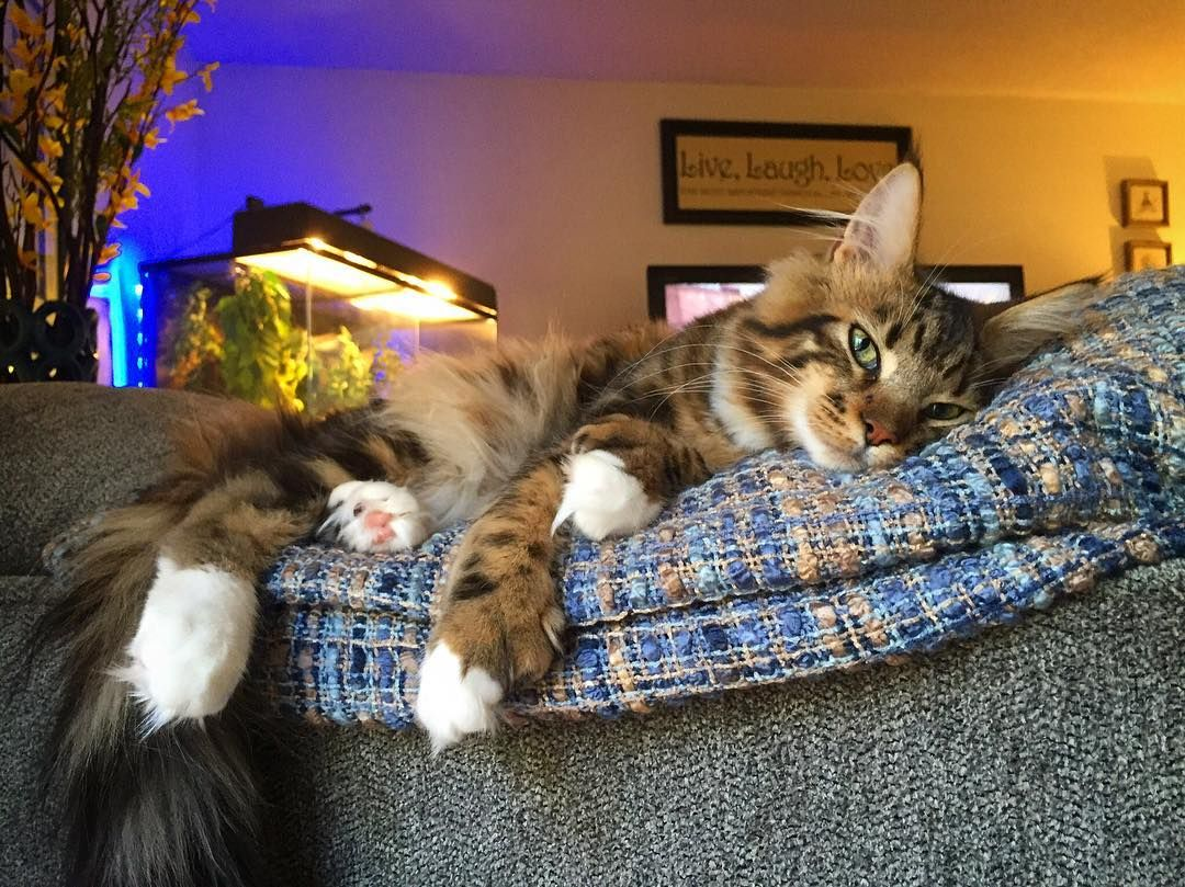 Pin on Ruckus the Maine Coon