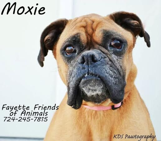 Adopt Moxie On Boxer Dogs Dogs Animals