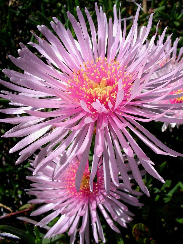 Pigface Flower (Carpobrotus glaucescen)