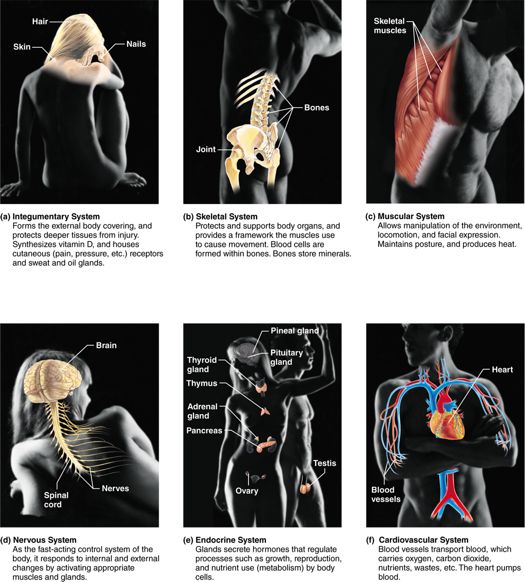 Human Anatomy and Physiology - Pearson eText 2.0 | Anatomy and ...