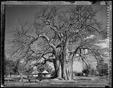 Baobab: Tree of Generations #15