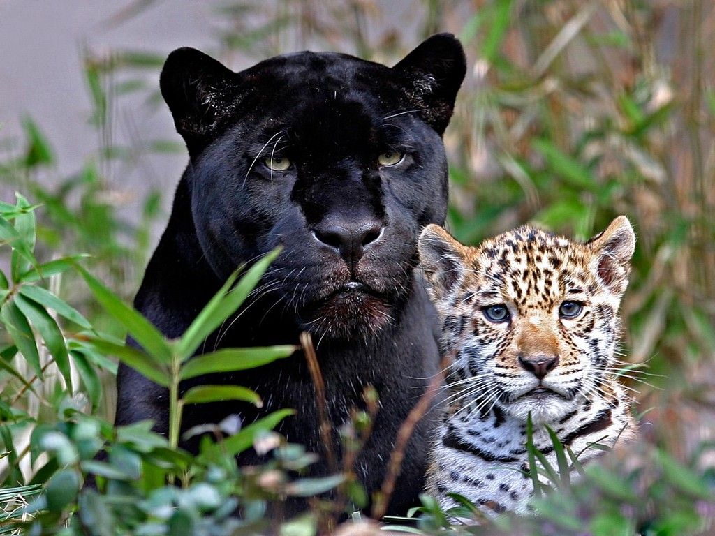 ... , there are a small percent (6%) that are all black (but sometimes they may still have visible spots) and are known as black panthers. Description from pinterest.com. I searched for this on bing.com/images