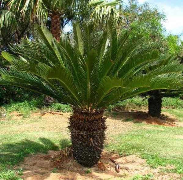 Palm tree species with pictures palms pinterest palm for Small tree varieties