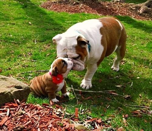 More About The Bulldog Puppy Temperament Bulldogsforlife