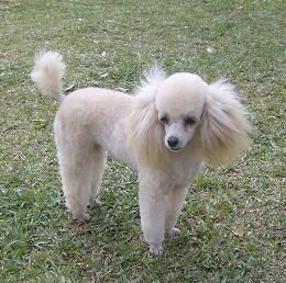 Cute Little Girl And Her Name Is Tamtam I Love That Poodles