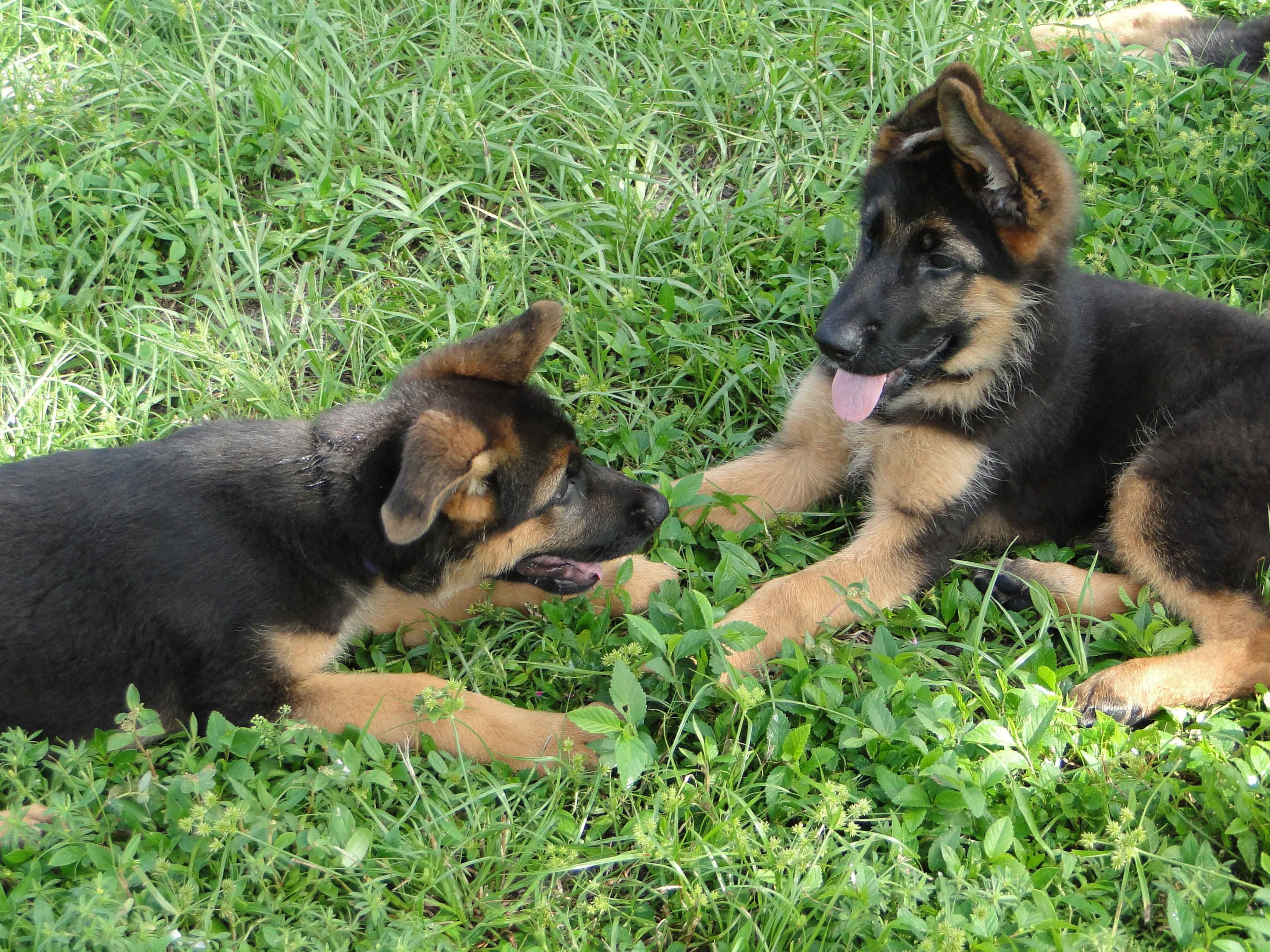 The German Shepherd Is One Of The Most Popular Breeds Of Dogs In