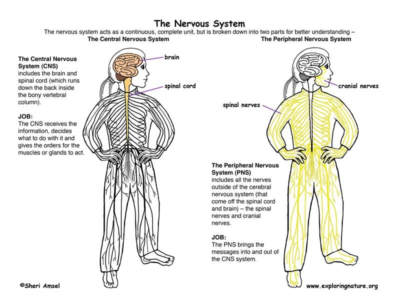 Nervous System Diagram For Kids | Senses unit | Pinterest ...