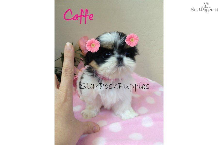 Micro Tiny Teacup Shih Tzu Micro Shih Tzu Puppies Micro Shih Tzu Caffe Shih Tzu Puppy Teacup Puppies Shih Tzu